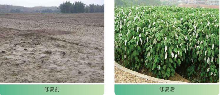 植物固定技术--工程应用实景图4.jpg